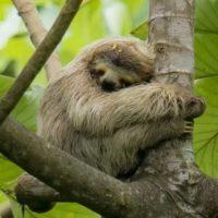 Quanto dormono i bradipi?