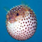 Come fa il pesce palla a gonfiarsi?