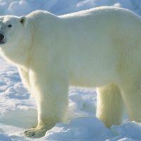 Come fanno gli orsi polari a mantenere il calore?