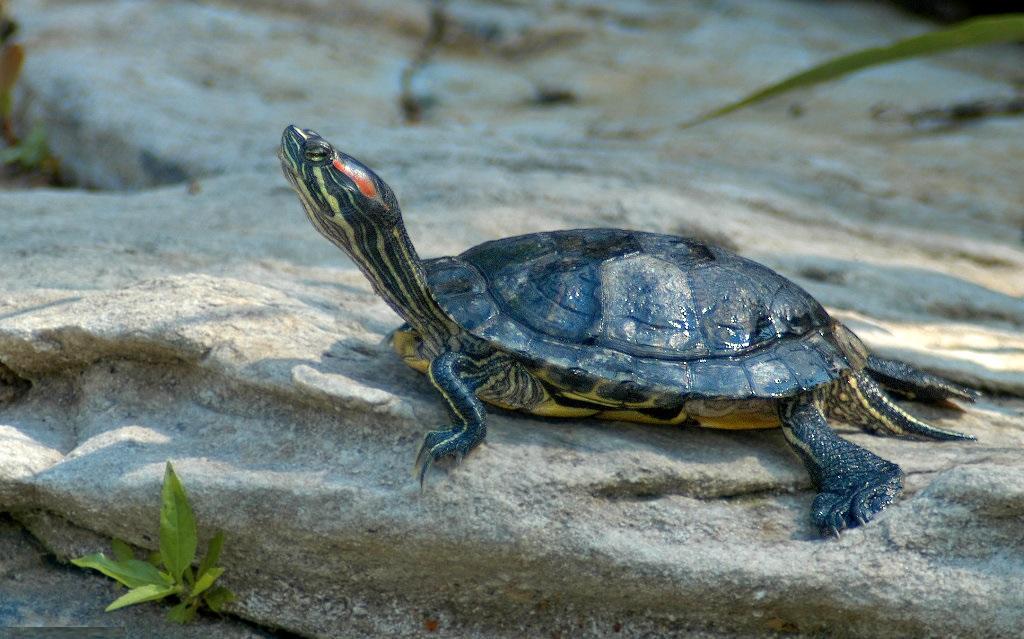 La tartaruga dalle orecchie rosse, specie invasiva in Italia