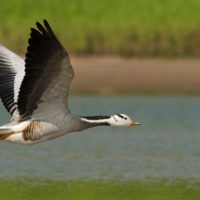 Fino a che altezza possono volare gli uccelli?