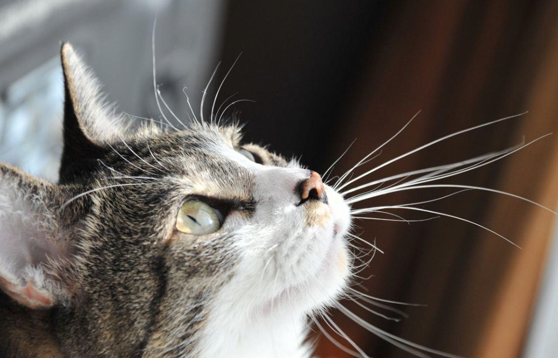 Perché i baffi sono indispensabili per i gatti?