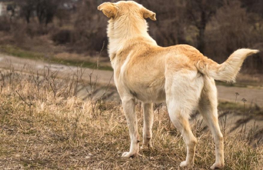 Quando un cane scodinzola è felice?
