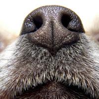 Perché i cani hanno il naso bagnato?