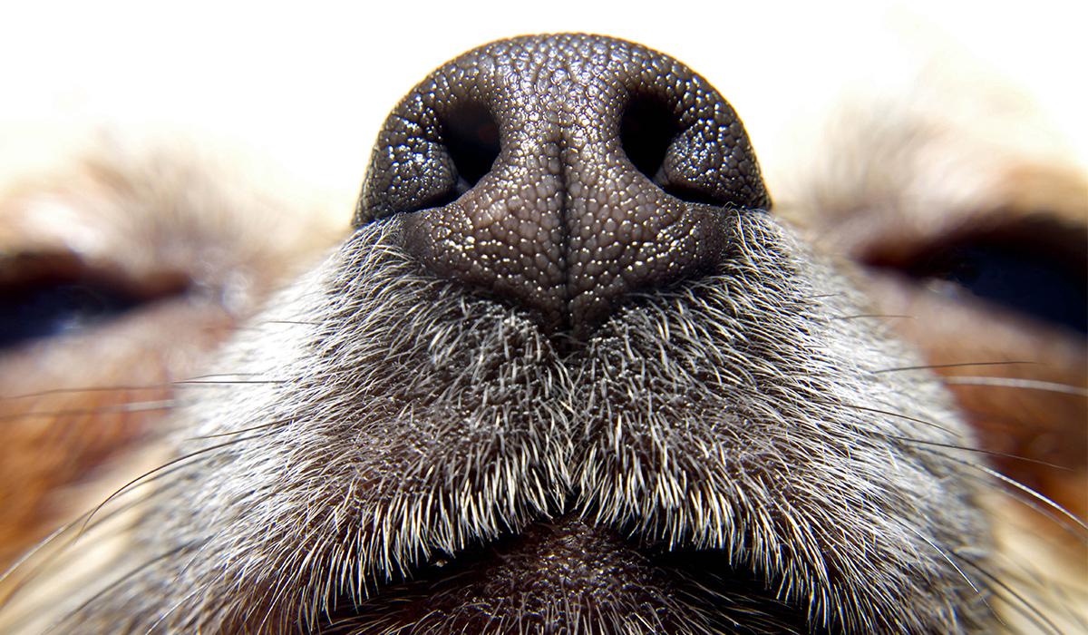 Perché il cane ha il naso bagnato?