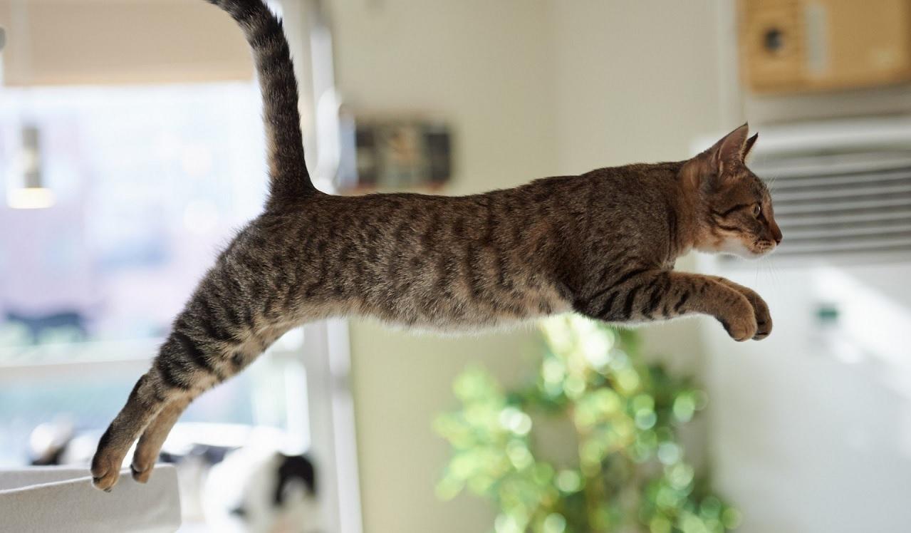 Perché i gatti cadono sempre in piedi?