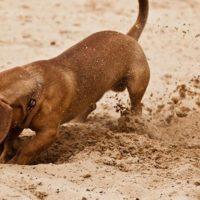 Perché i cani nascondono il cibo?