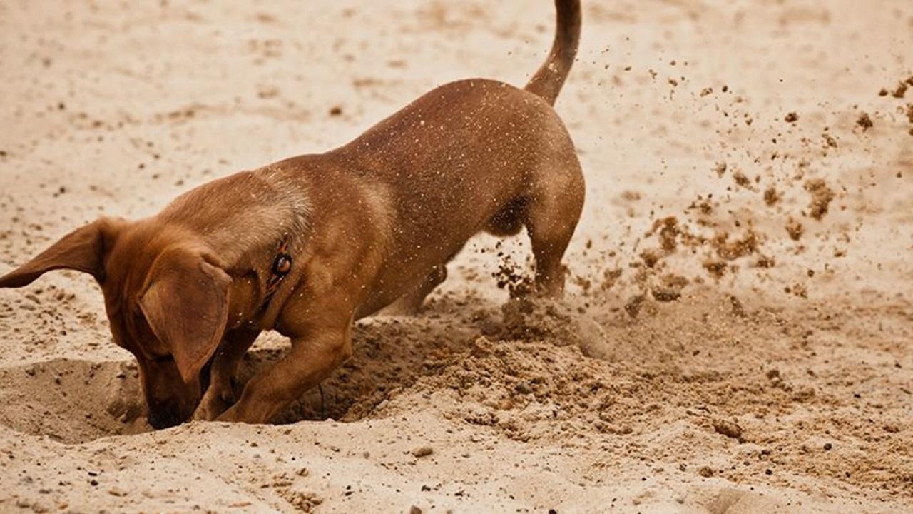 Perché i cani nascondono l'osso?