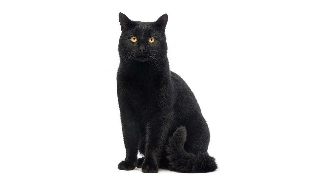 Perché i gatti neri portano sfortuna?