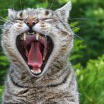 Quanti denti ha un gatto?