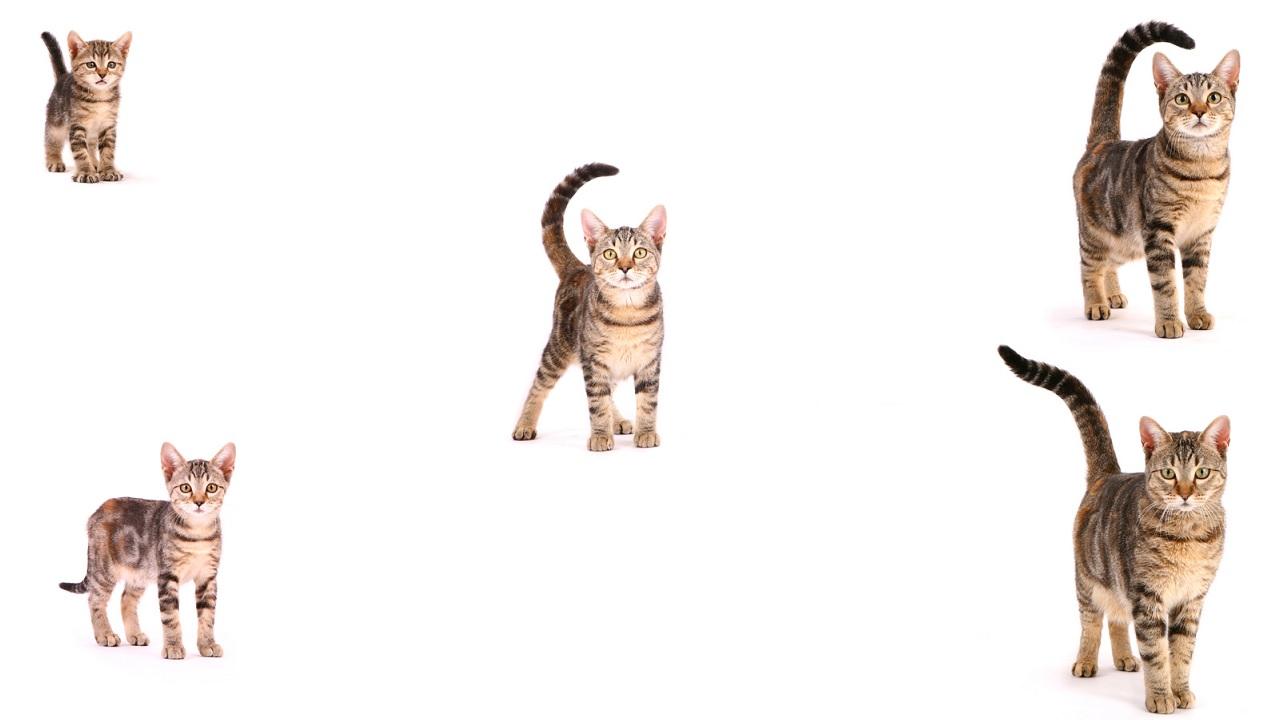 Come si stabilisce l'età di un gatto?
