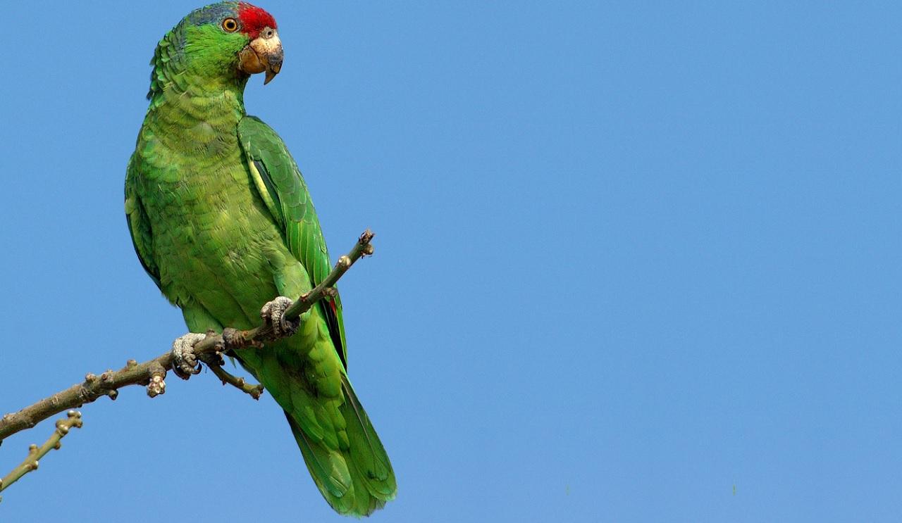 Come fanno i pappagalli a parlare?