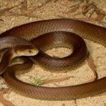 Qual è il serpente più pericoloso al mondo?