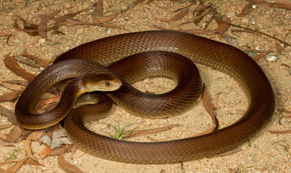 Il taipan australiano, il serpente più velenoso del mondo