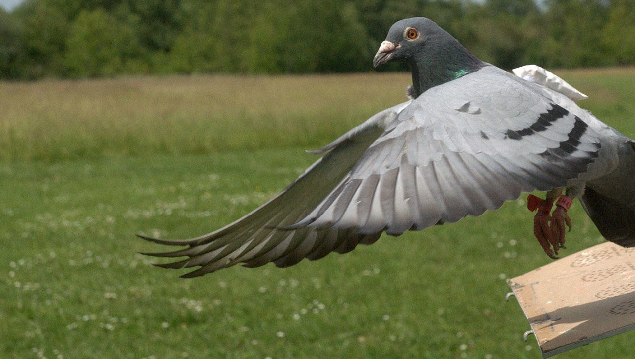 Addestrare i piccioni viaggiatori