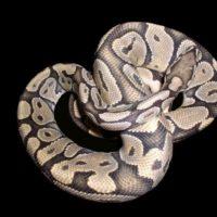 In che modo uccidono i serpenti costrittori?