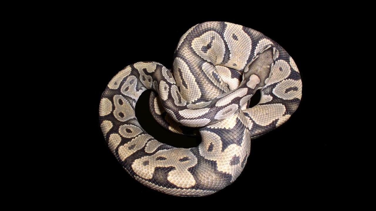Come uccidono i serpenti costrittori
