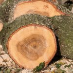 Perché a volte gli anelli degli alberi sono più ampi?