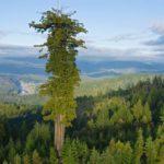 Quali sono gli alberi più alti?