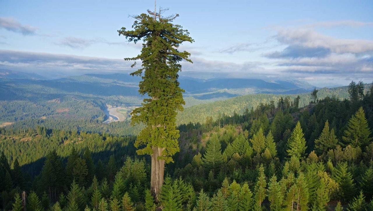 Hyperion, l'albero più alto del mondo.
