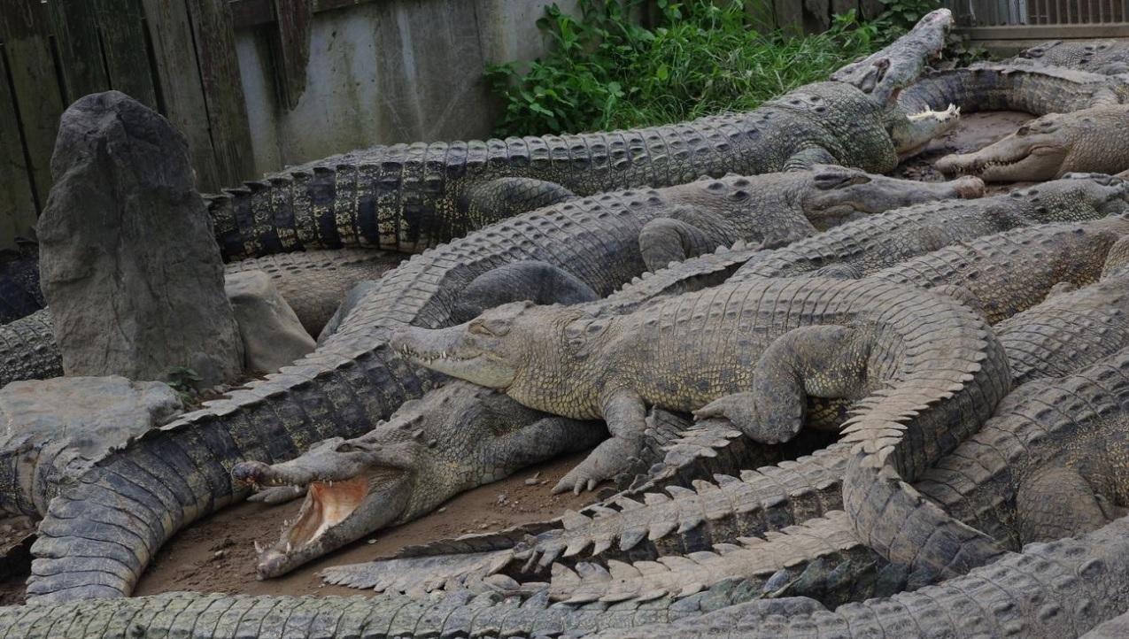 I coccodrilli mangiano le pietre?