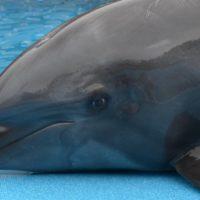 Il delfino ha le orecchie?