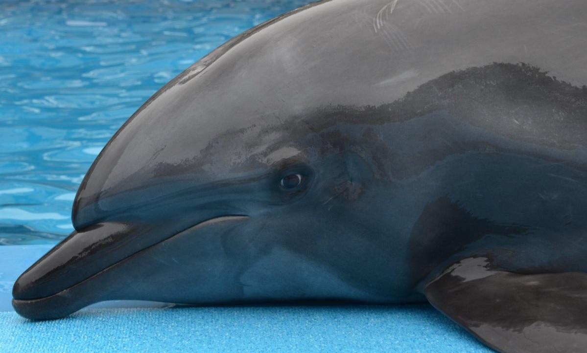 I delfini hanno le orecchie?
