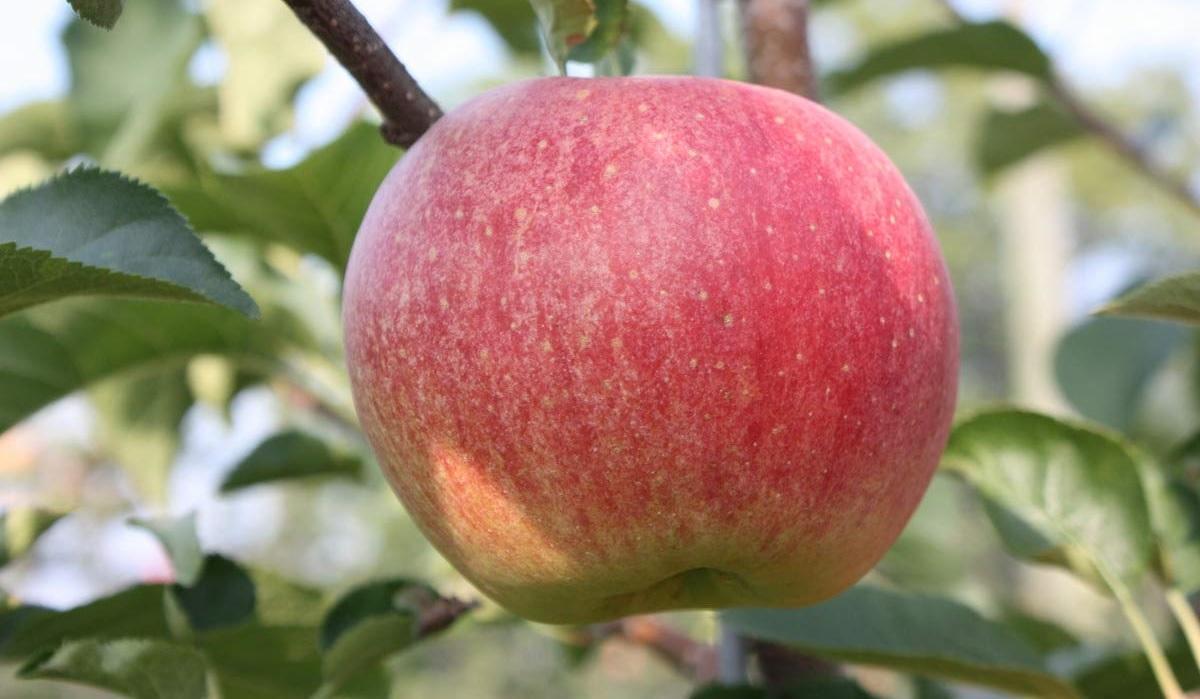 Paradis Sparkling, la mela frizzante