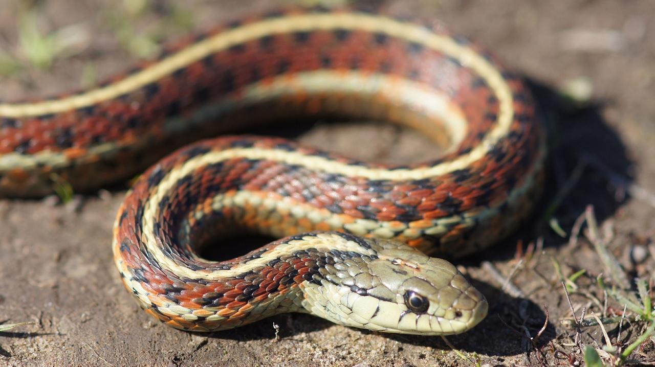 Il serpente giarrettiere, uno dei serpenti non commestibili