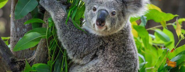 I koala non bevono mai?
