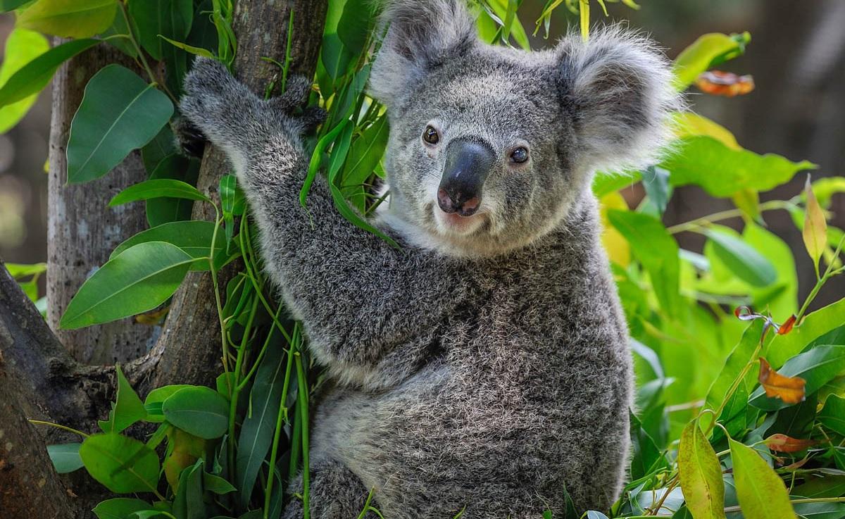 È vero che i koala non bevono?