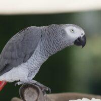 Come fanno certi uccelli a parlare?