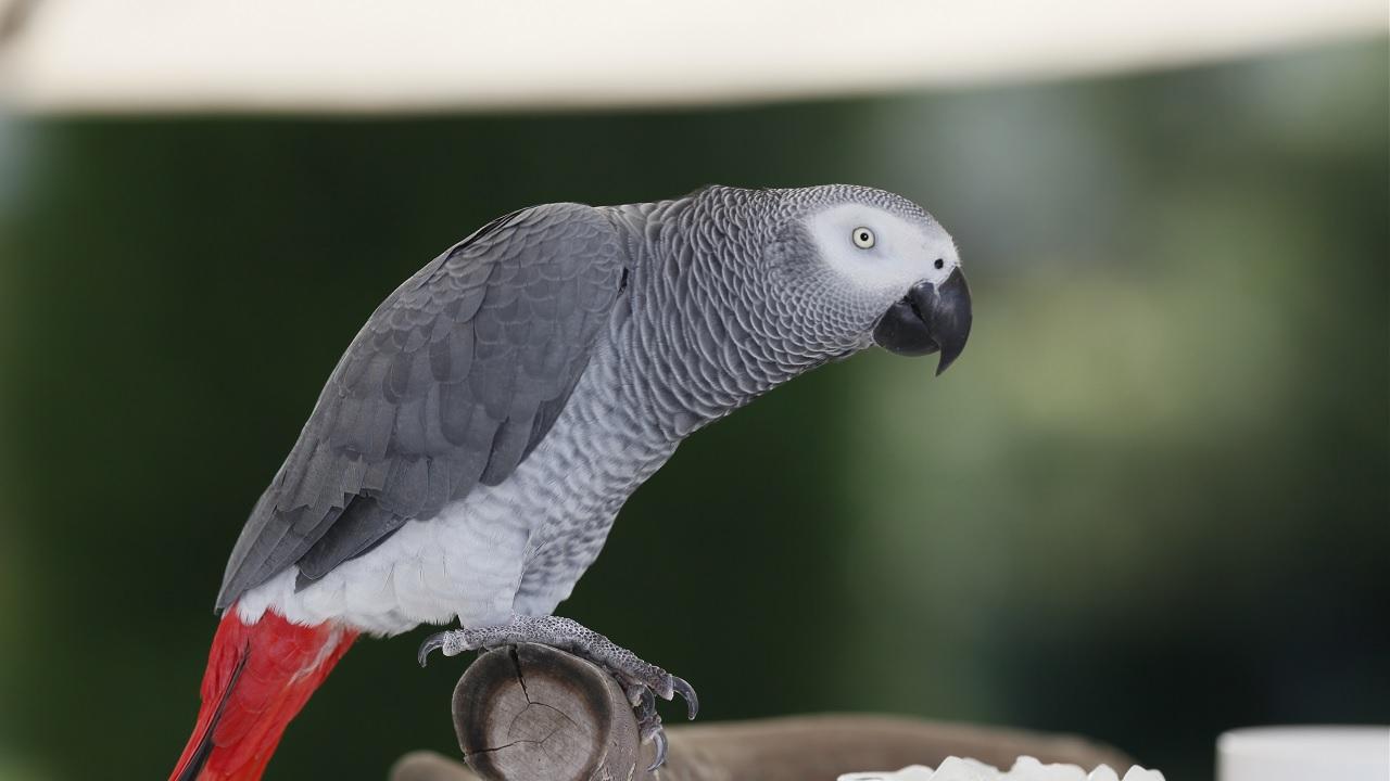 Perché alcuni uccelli parlano?