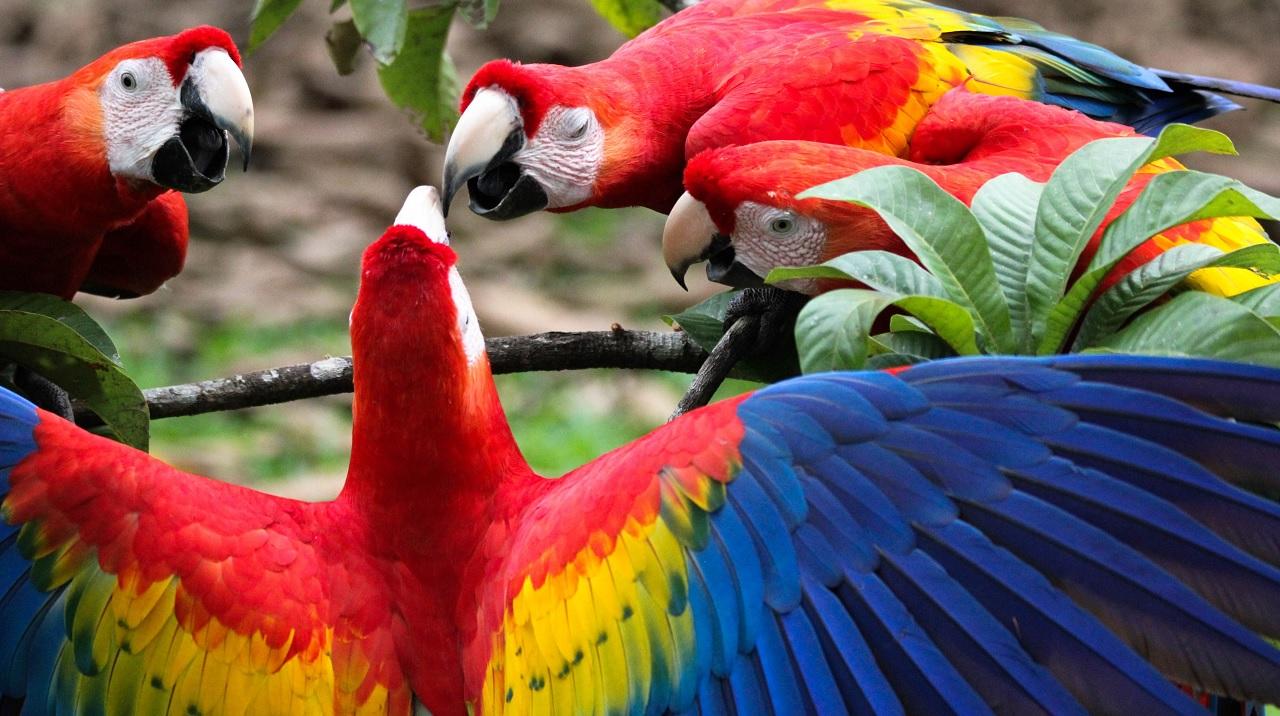 Perché le piume dei pappagalli sono colorate?