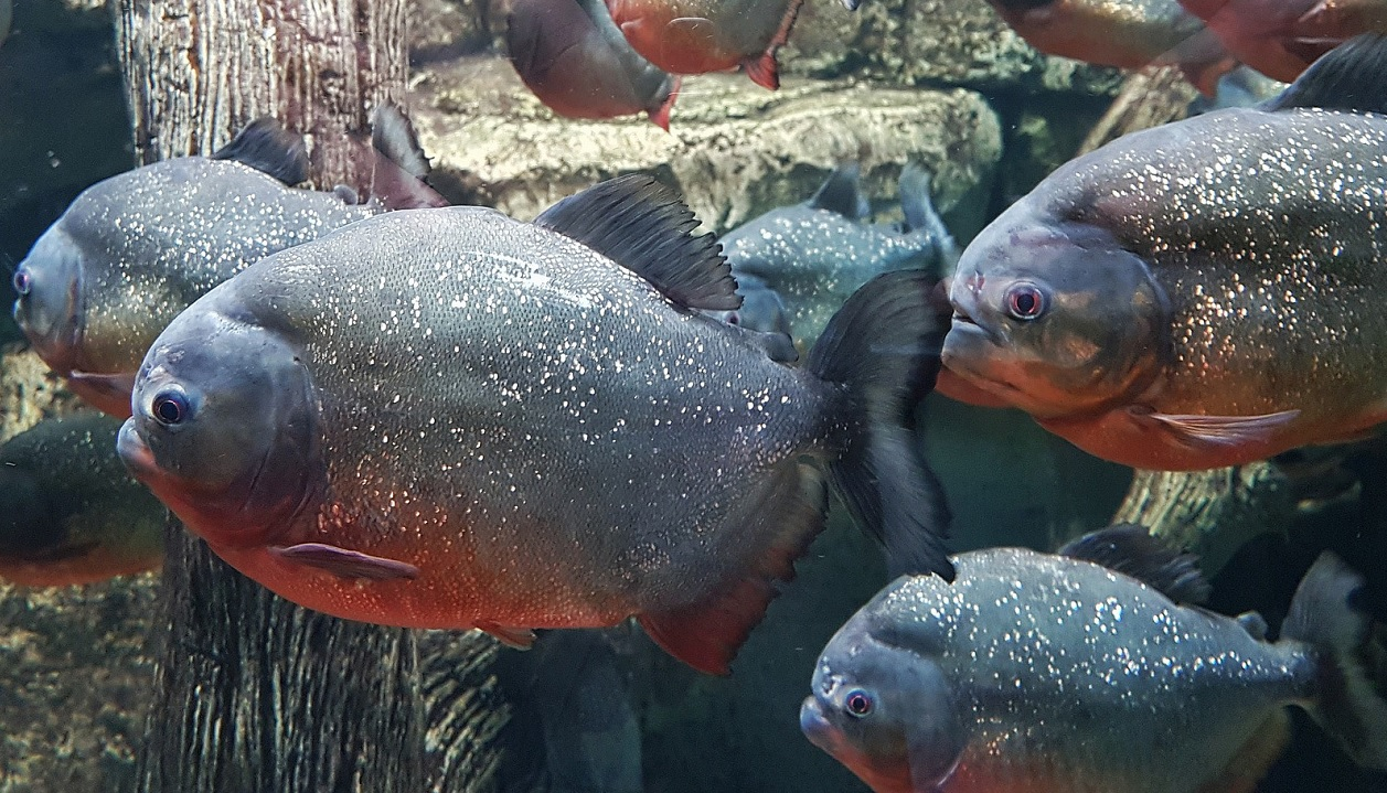 Come mai i piranha non si mangiano tra di loro?
