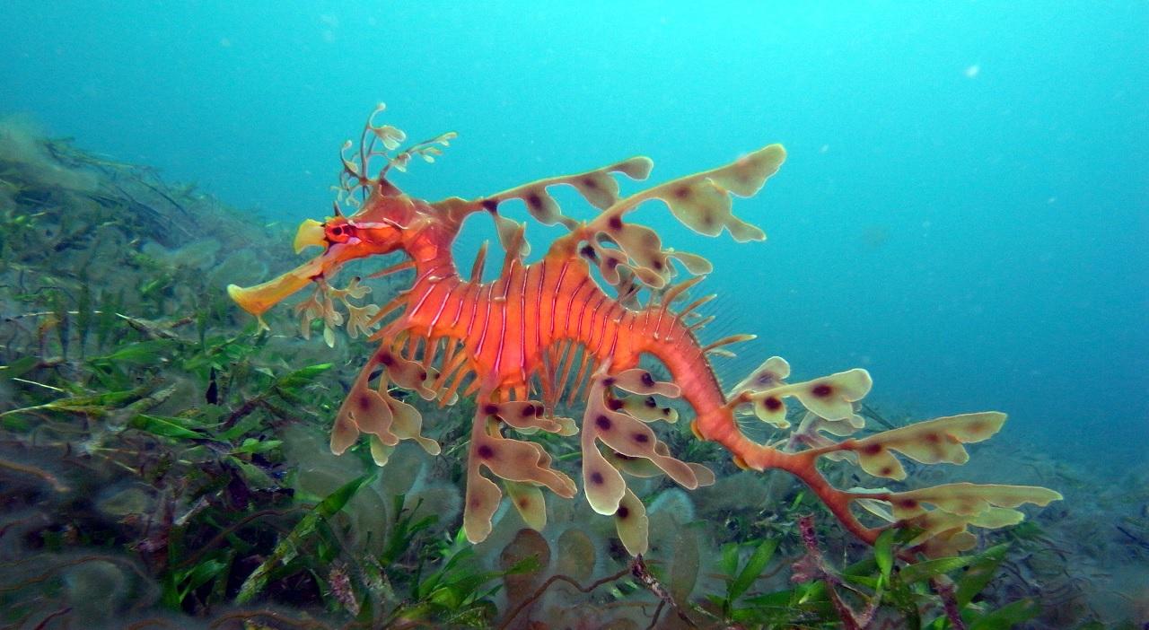 Il dragone di mare, maestro di mimetismo