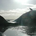 Perché le balene spiaggiano?