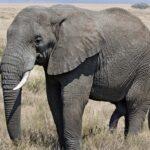 Perché si dice avere una memoria da elefante?
