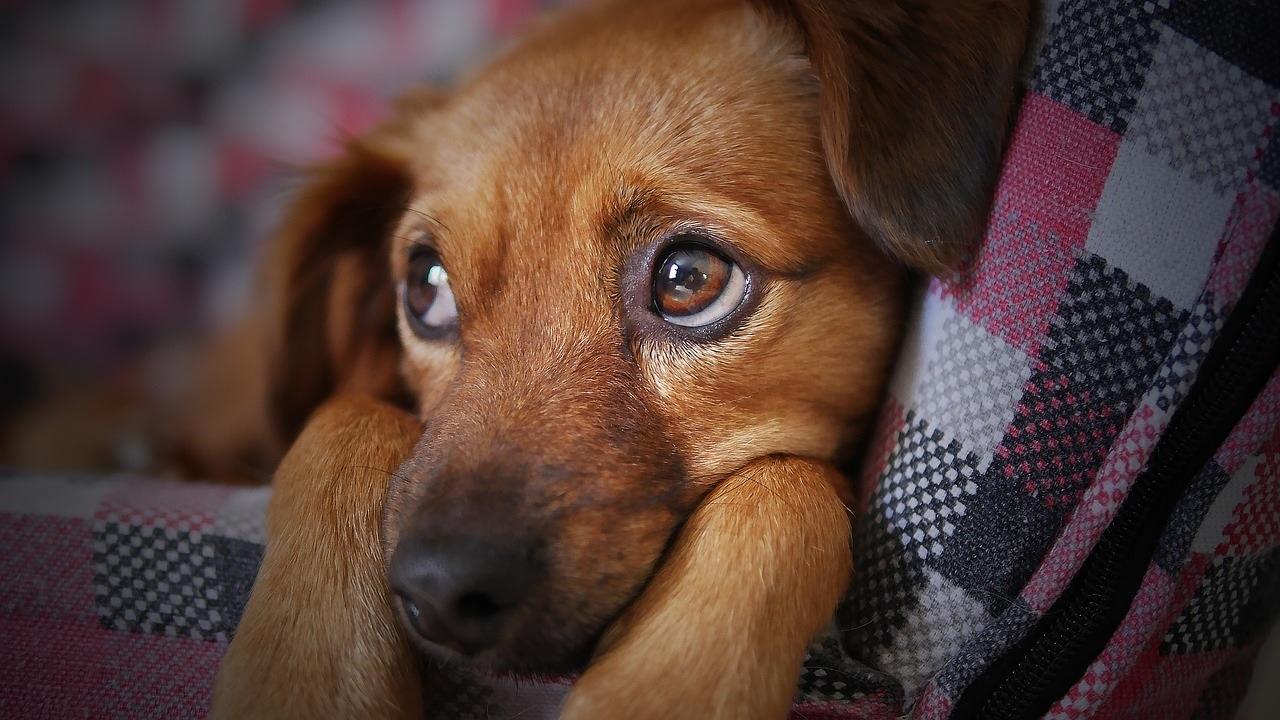 I cani si sentono in colpa per quello che hanno fatto?