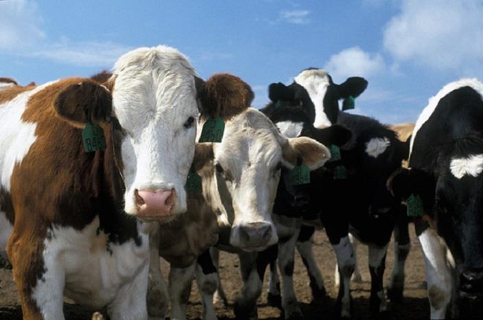 Qual è l'impatto ambientale della produzione di carne bovina?