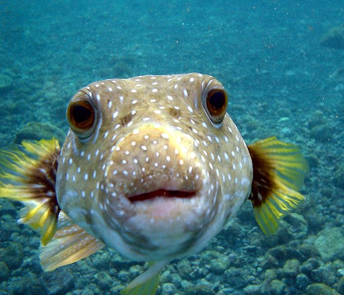 Un pesce palla in primo piano