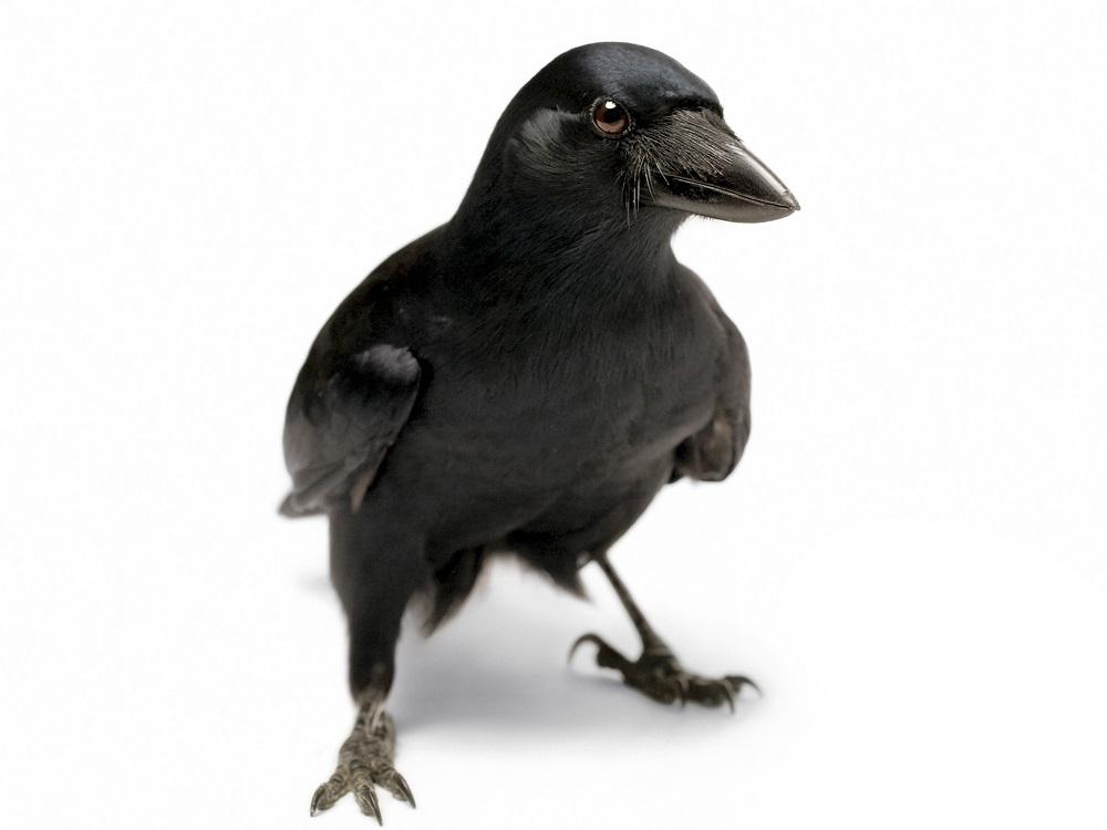 Qual è l'uccello più intelligente?