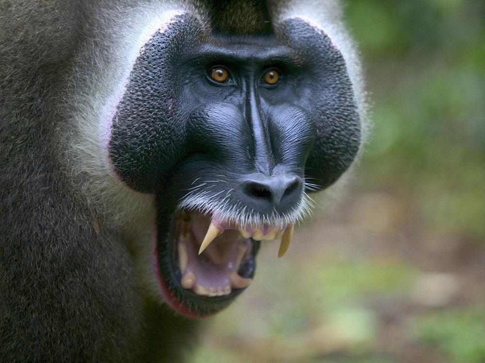 Perché i babbuini sbadigliano?