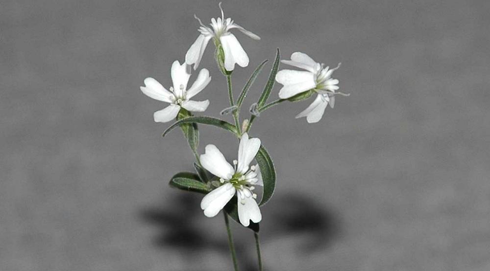 Si può riportare in vita una pianta estinta migliaia di anni fa?