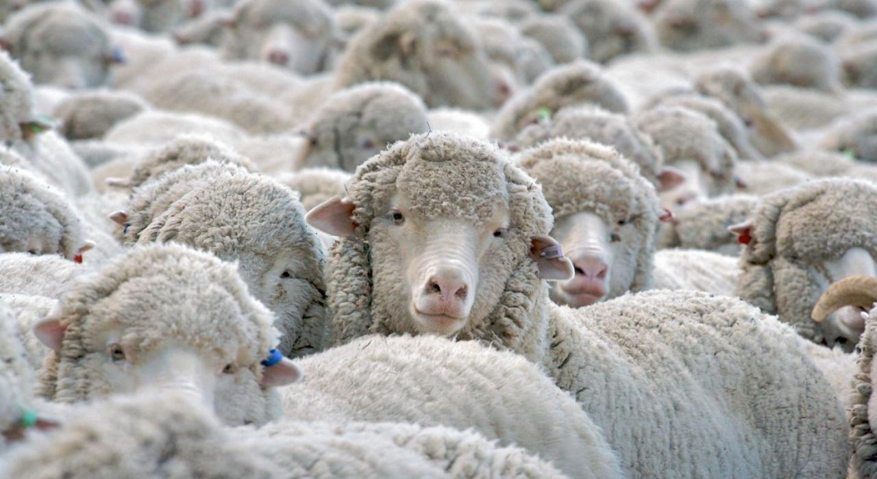 Si può mangiare la carne di animali clonati?