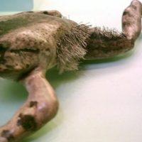 Esiste una rana con gli artigli?