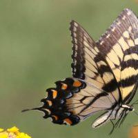 Come fanno le farfalle maschio a identificare le femmine?