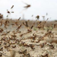 Perché le locuste causano danni?