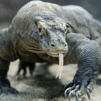 Il drago di Komodo è velenoso?
