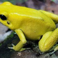 Qual è la rana più velenosa del mondo?